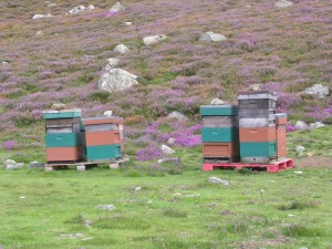 Beehives with Heather